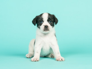 Black and white jack russel mix puppy sitting facing the camera on a turquoise blue background
