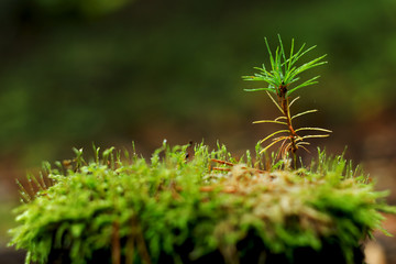 Young pine tree growing on stump in forest