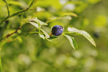 Ripe Blueberry on twig in summer forest