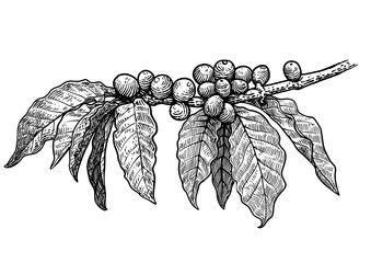 Coffee plant illustration, drawing, engraving, ink, line art, vector