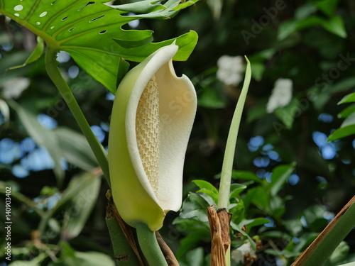 Jeune Fruit Delicieux Faux Philodendron Jardin Creole La Reunion