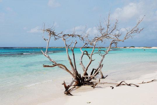 Driftwood on Baby Beach in Aruba