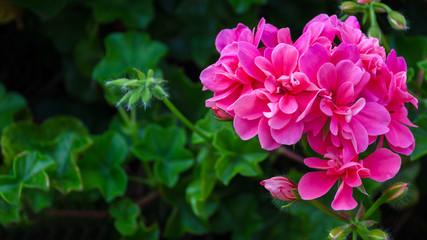 Geranium Flowers background