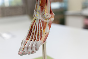 Anatomy muscle Legs model of muscle for classroom education.