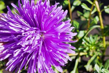 Single aster violet flower on green background