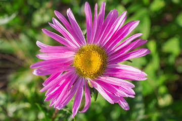 Single aster violet flower on green background