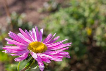 Beautiful violet aster flower in garden. Place for text