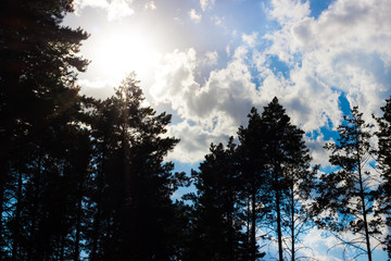 Amazing pine forest silhouettes tree against blue sky with clouds and sun
