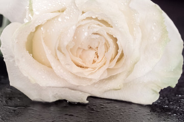 White rose in drops of water on the grungy wooden table