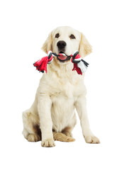 Golden Retriever Dog and toy