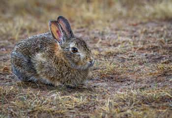 Wild cottontail bunny rabbit with rain drops on fur. Field, meadow, farm after the rain. Closeup. Copy space.