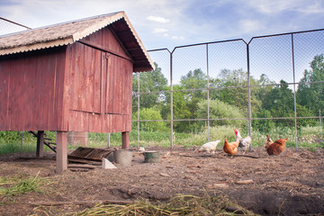 Chickens near their chicken coop