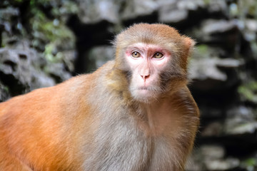Monkey, Rhesus Macaque, Old World monkey. China.