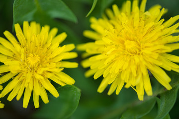 Bright dandellion flowers