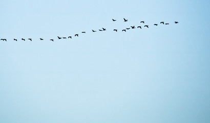 flock of birds flying south isolated high up in blue sky