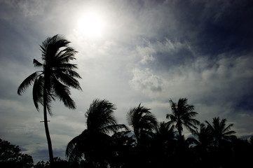 A backlit shadows of coconut trees background sky overcast.