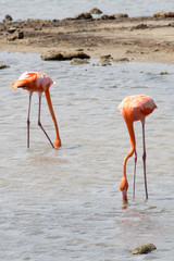 Flamingo-Paar