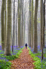 Bluebell flowers in hardwood beech forest in Hallerbos