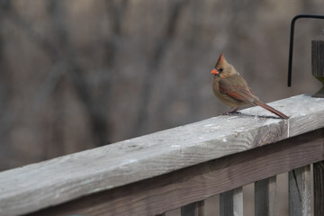 Northern Cardinal Perched on Deck