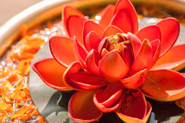 Beautiful red color Nelumbo flower known as Lotus. Sacred plant in Hinduism and Buddhism.