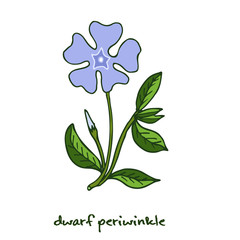 Dwarf periwinkle, or Vinca minor