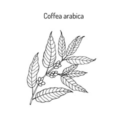 Hand drawn coffee tree branch