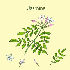 Jasmin branch with flowers