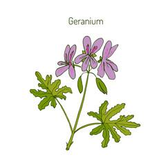 Geranium or Pelargonium