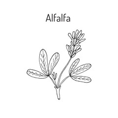 Alfalfa botanical vector illustration