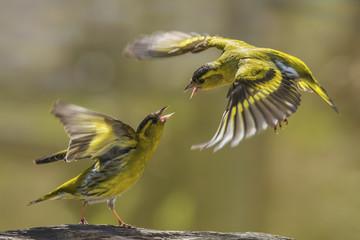 Eurasian siskin birds fight