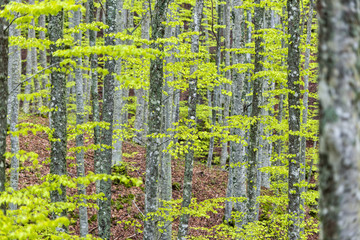 Forest in Autumn, Foreste Casentinesi NP, Emilia Romagna district, Italy