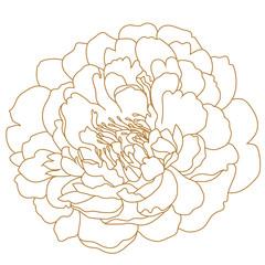 Golden peony flower, bud. Vector.
