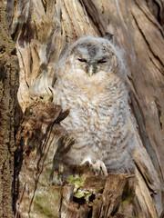 Young Tawny Owl - Strix Aluco