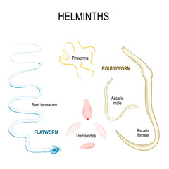 Helminths. types of human parasites.
