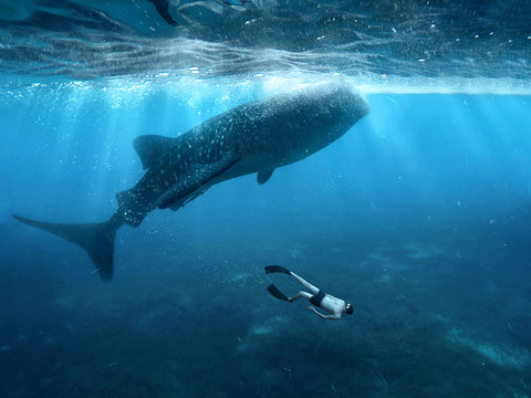 Freediving with whale sharks