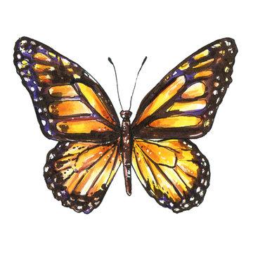 Butterfly, Monarch, Milkweed, Wanderer, Danaus plexippus. Watercolor butterfly