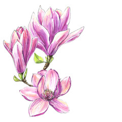 Beautiful hand drawn magnolia branch illustration. Summer and spring floral background. Watercolor design element