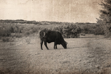 Wall Mural - Cow grazing in pasture with rustic antique look.  Great for decor print or rural background.
