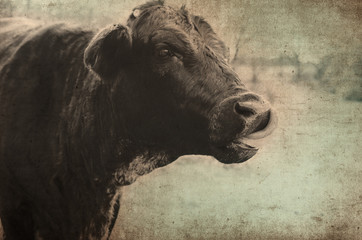 Wall Mural - Cute black cow on rural farm with antique color and grunge texture.  Makes for great print or backdrop.