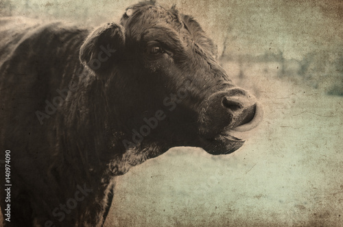 Wall mural Cute black cow on rural farm with antique color and grunge texture.  Makes for great print or backdrop.