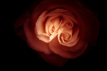 isolated rose with black background