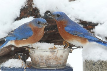 Fotoväggar - Male Eastern Bluebirds on a Feeder
