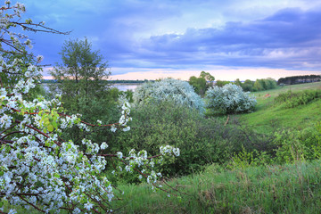 blossoming apple tree on the river bank