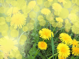 Spring yellow dandelions in soft yellow Sunny background.