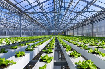 Fototapeta Organic hydroponic vegetable cultivation farm (Modern greenhouse) obraz