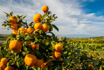 Typical mediterranean fruits: closeup view of oranges on the tree of a Sicilian grove with snowy Mount Etna in the distance