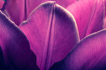 Purple tulips closeup macro. Petals of purple tulips close-up macro background texture. Old retro vintage style photo.
