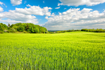 Wall Mural - Landschaft im Frühling, Feld mit Gerste, frisches Grün