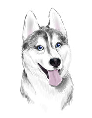 White And Gray Adult Siberian Husky Dog Or Sibirsky Husky With Blue Eyes . Face of dog.