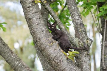 black devon rex kitten climbing a tree